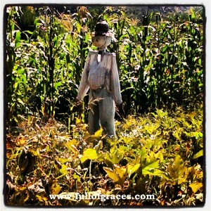 Mr. Scarecrow guarding the pumpkin patch