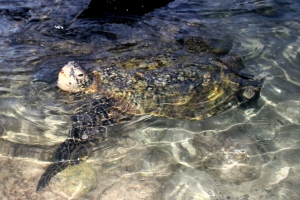 Hawaiian Honu, green sea turtle.This one was at least five feet long and two feet away from me!