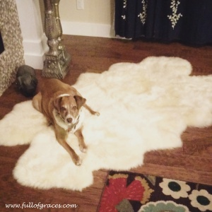 Sugar is not scared of the sheepskin monster.